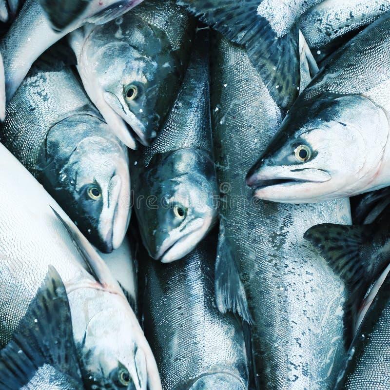 Salmon. Heap of fresh catched salmon