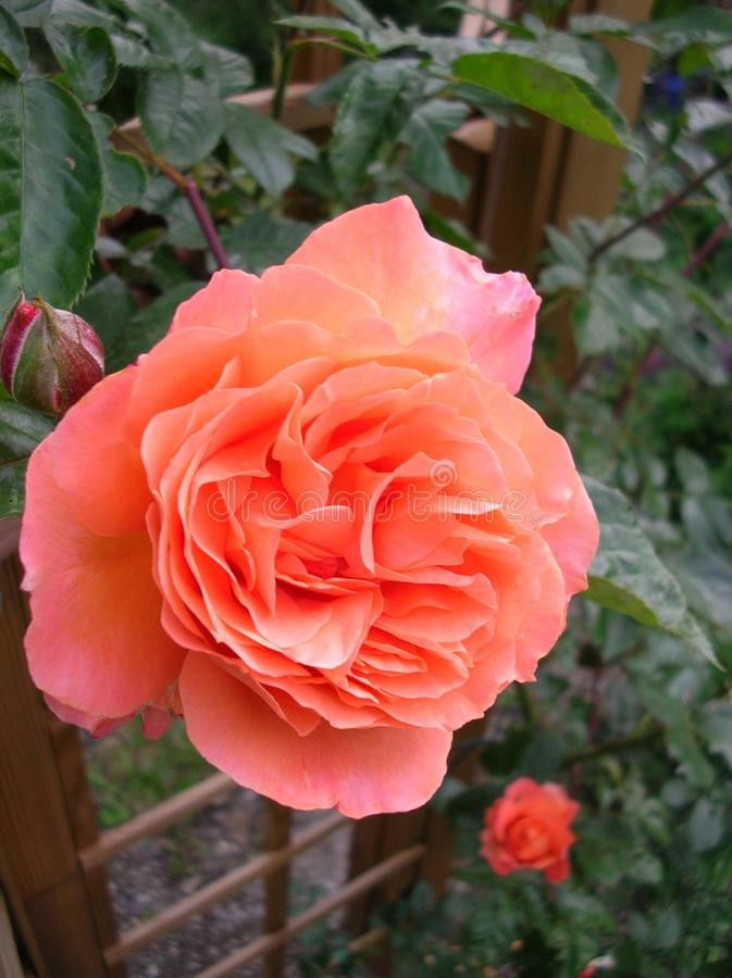 Salmon colored elegant rose royalty free stock photography