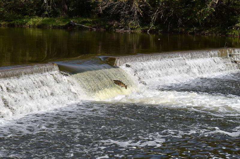 Salmon Fall Migration images libres de droits