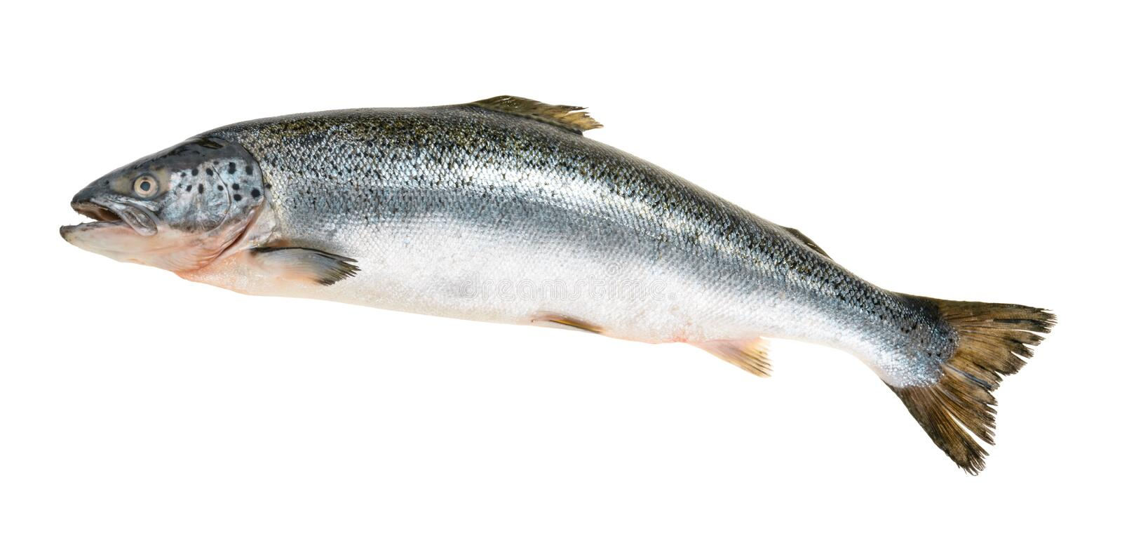 Salmon fish isolated on white without shadow stock images