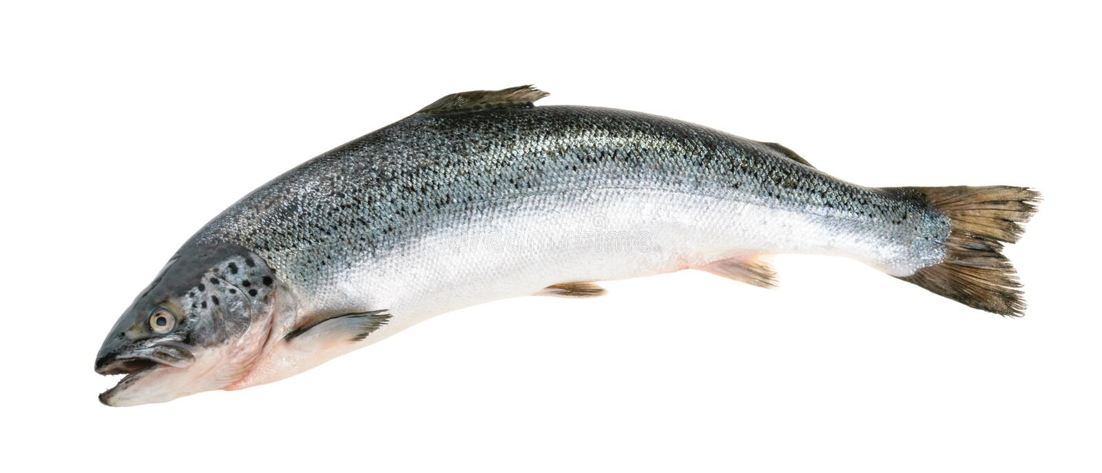 Salmon fish isolated on white without shadow stock image