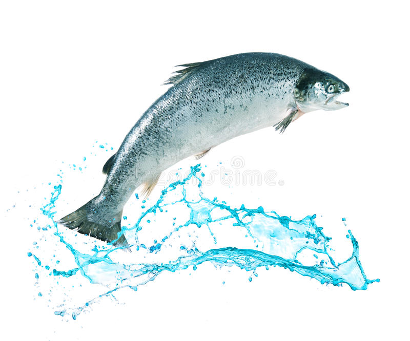 Salmon fish jumping out of water. Atlantic salmon fish jumping out of water royalty free stock image