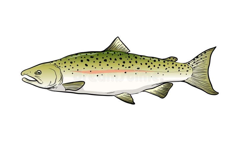 Salmon Fish Sketch Vector Illustration illustration libre de droits