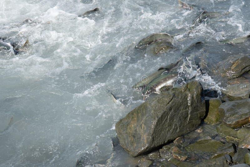 Salmon fish swimming upstream in Valdez Alaska during the August salmon run stock image