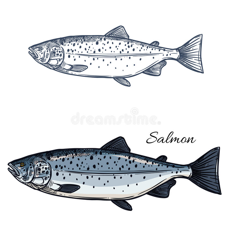 Salmon fish vector isolated sketch icon royalty free illustration