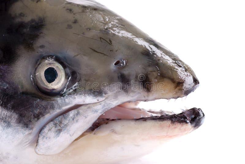 Salmon Head royalty free stock photography