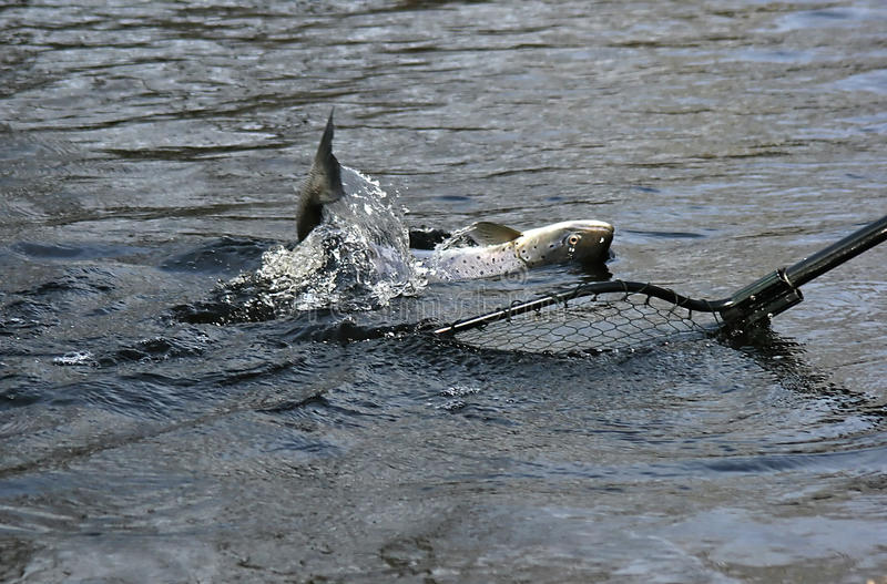 Download Salmon on the hook stock image. Image of life, lure, fish - 9828549