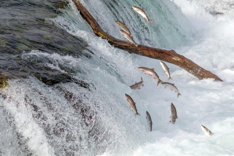 Salmon Jumping Over bäcknedgångarna på den Katmai nationalparken, Alaska royaltyfri bild