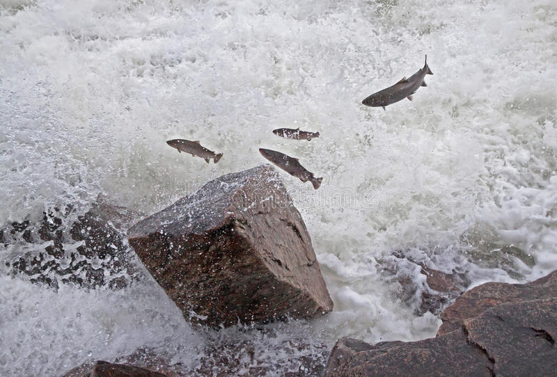 Salmon Jumping River images stock