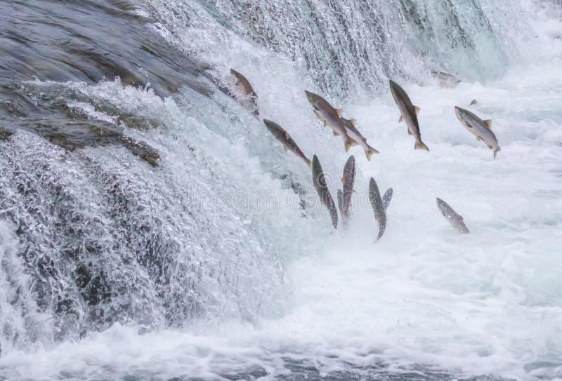 Salmon Jumping Up nedgångarna royaltyfria foton