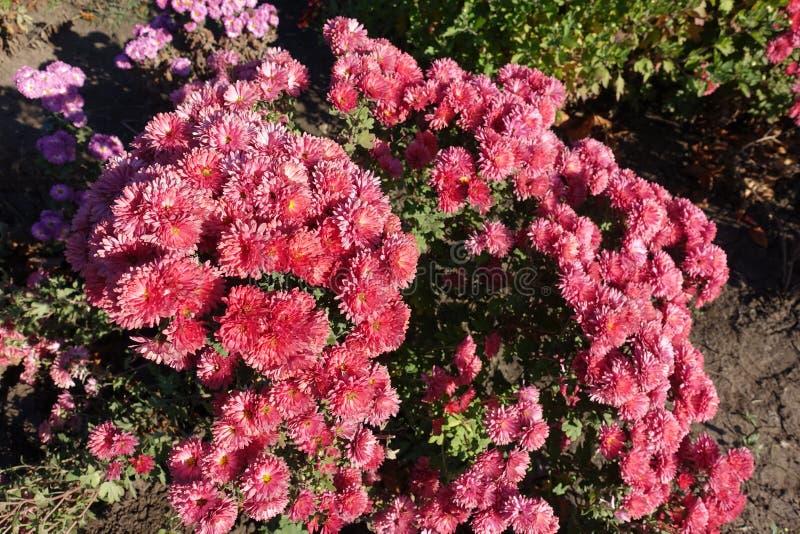 Salmon pink flowers of Chrysanthemum in November. Garden royalty free stock photo
