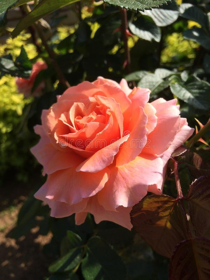 Salmon Pink Rose photos stock