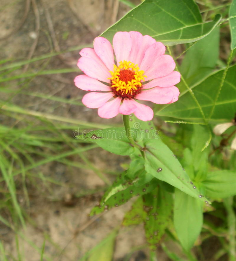 Salmon Pink Zinnia photo libre de droits