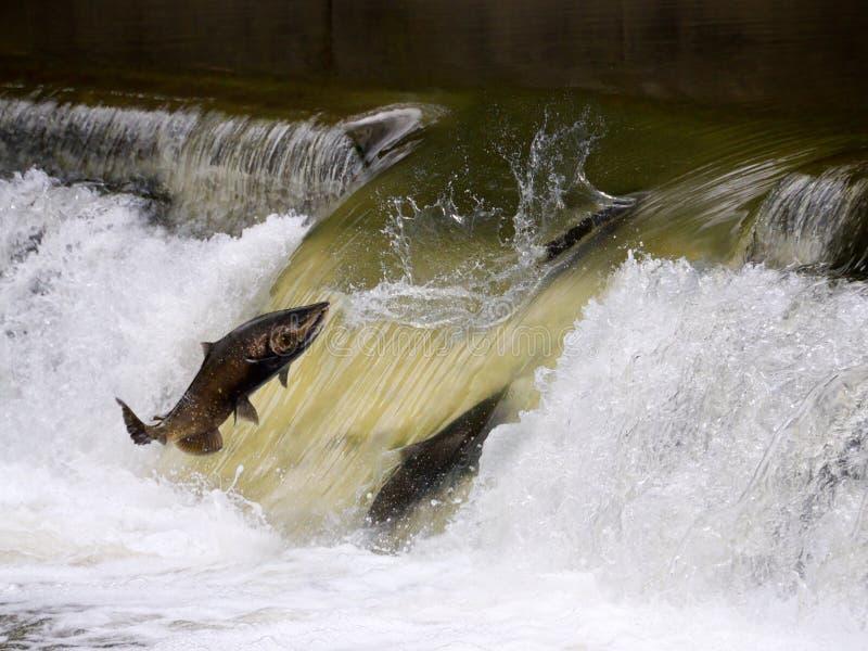 Salmon run. Seen in Toronto, Canada stock images