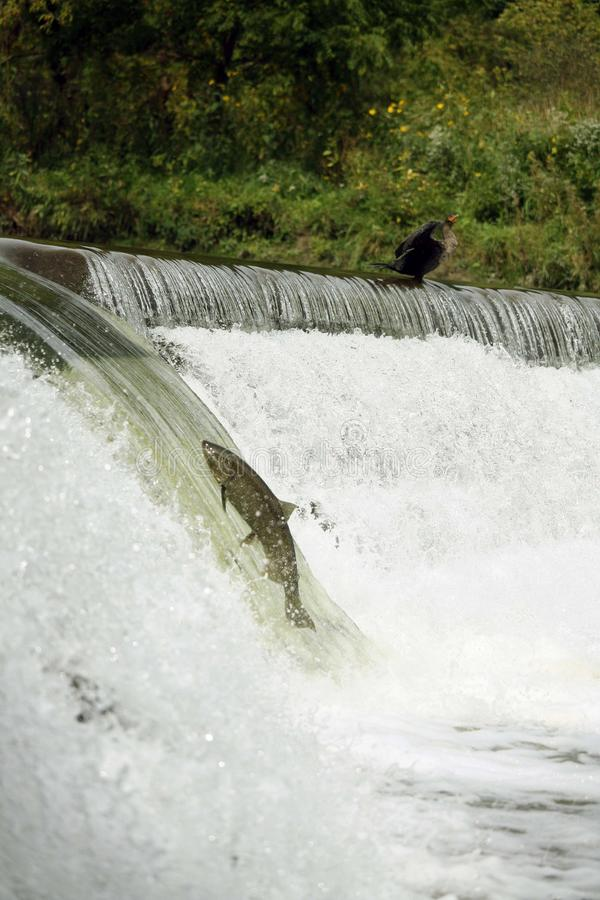 Salmon run. Big fish is jumping against the current in river going up the waterfall. the stock photo