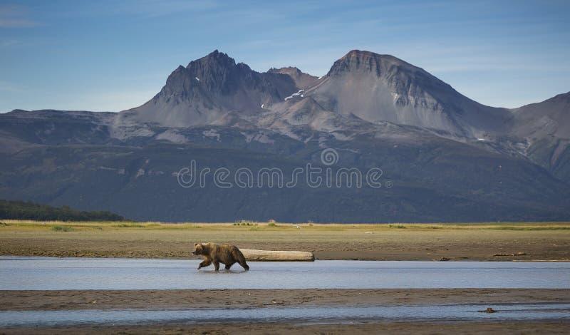 Salmon Searcher royaltyfria bilder