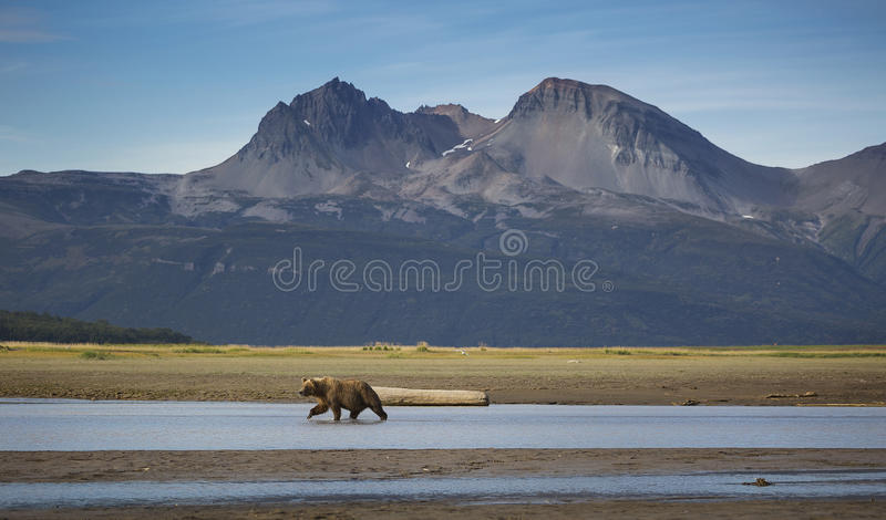 Salmon Searcher royalty free stock images