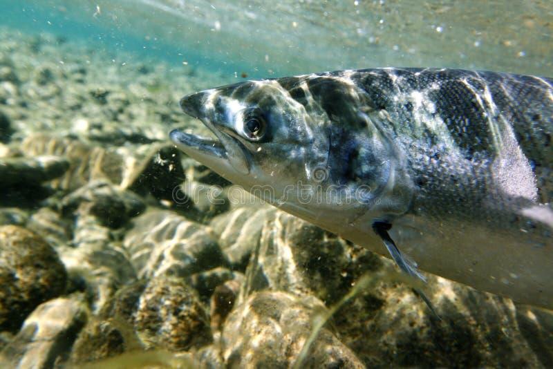 Salmon underwater stock photography