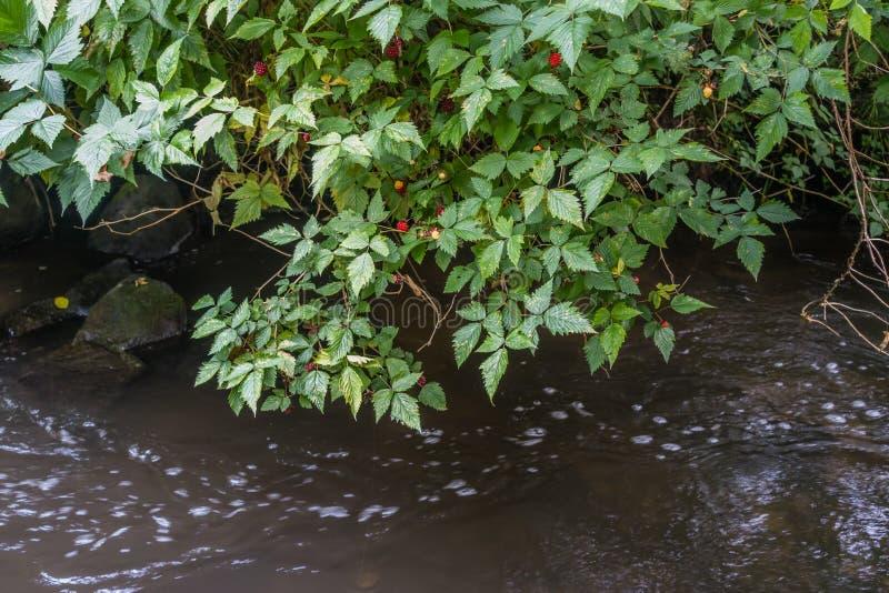Salmonberry Буш стоковые изображения rf