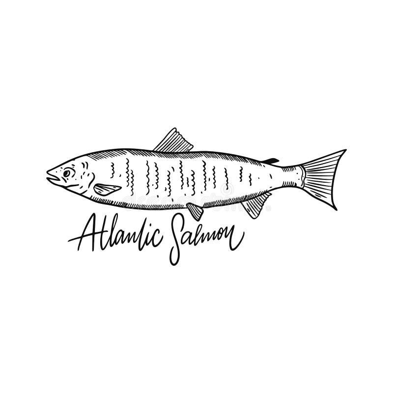 Salmone atlantico del pesce Illustrazione disegnata a mano di vettore Stile dell'incisione Isolato su priorit? bassa bianca royalty illustrazione gratis