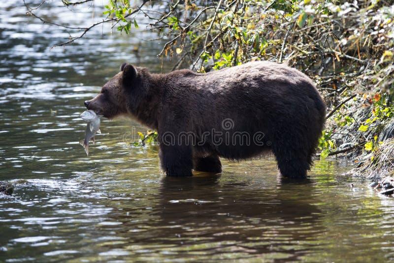 Salmone di cattura dell'orso grigio fotografia stock
