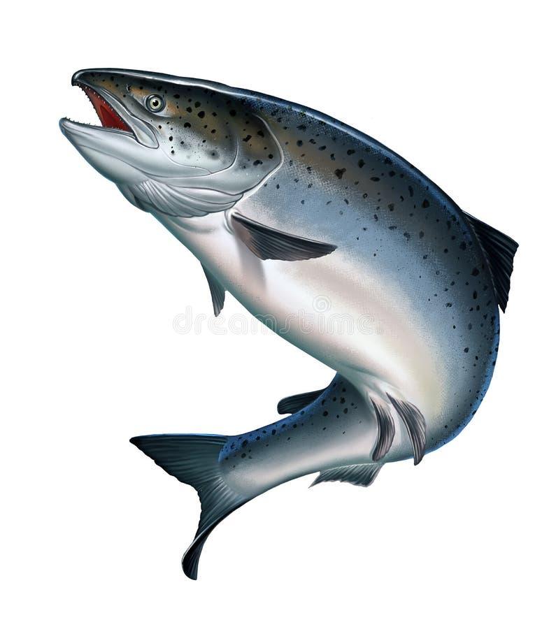 Salmone di color salmone o rosa atlantico su un bianco royalty illustrazione gratis