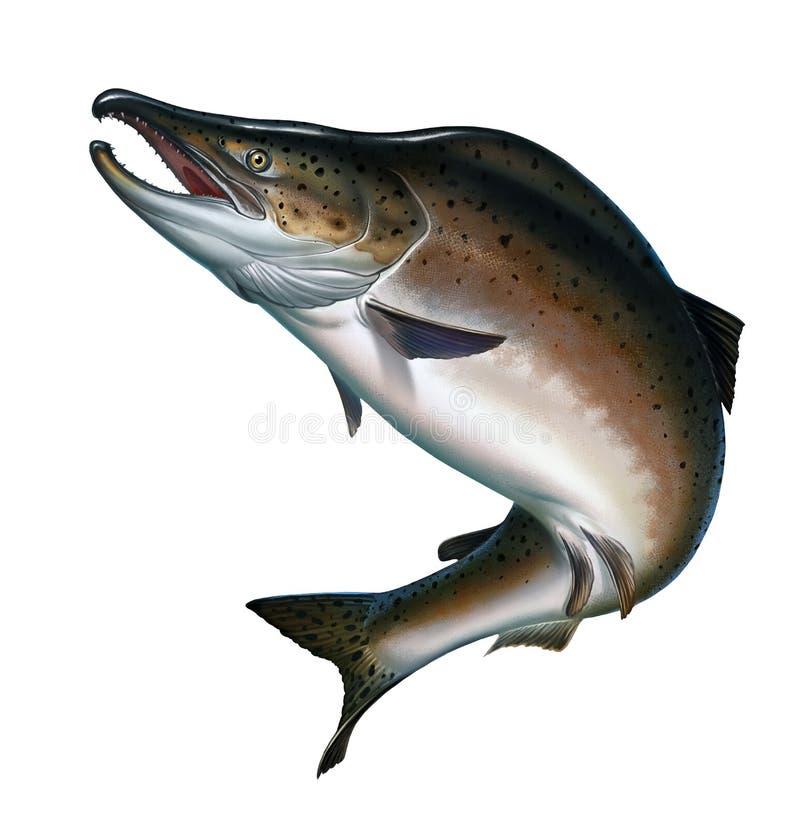 Salmone rosa su bianco Salmone di color salmone o rosa atlantico illustrazione vettoriale