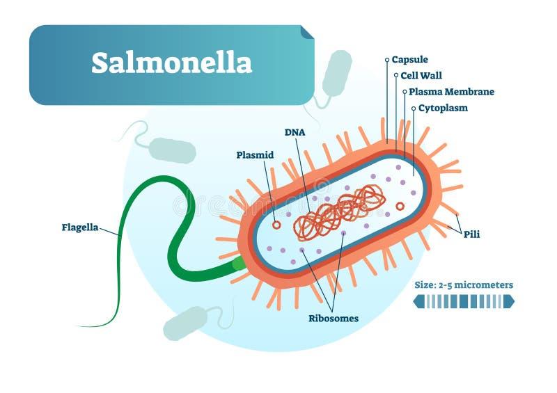 Salmonellabakterier det mikrobiologiska vektorillustrationtvärsnittet märkte diagrammet Informationsaffisch om medicinsk forsknin stock illustrationer