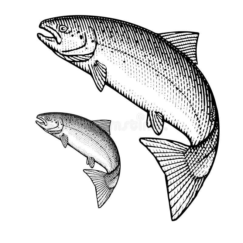 Salmones atlánticos libre illustration