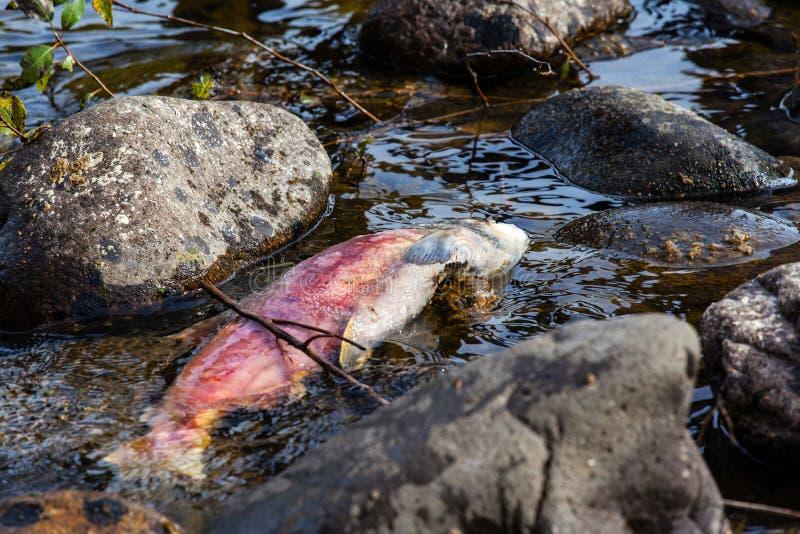 Salmones de Sockeye pacíficos frezados muertos en el río de Adams imagenes de archivo