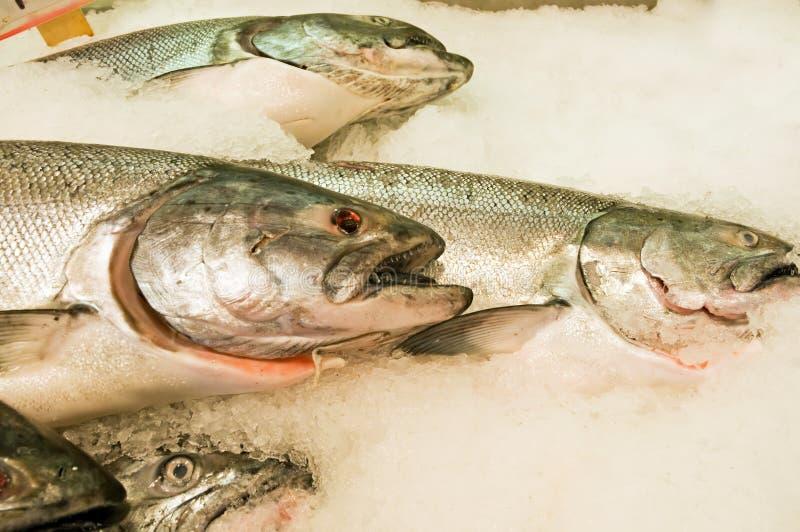 Salmones frescos en el hielo foto de archivo