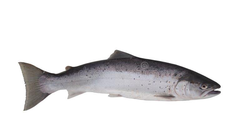 Salmones grandes foto de archivo libre de regalías