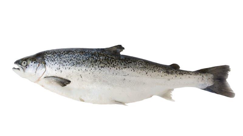 Salmoni Immagine Stock