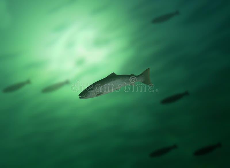 Salmoni in acqua fotografia stock libera da diritti