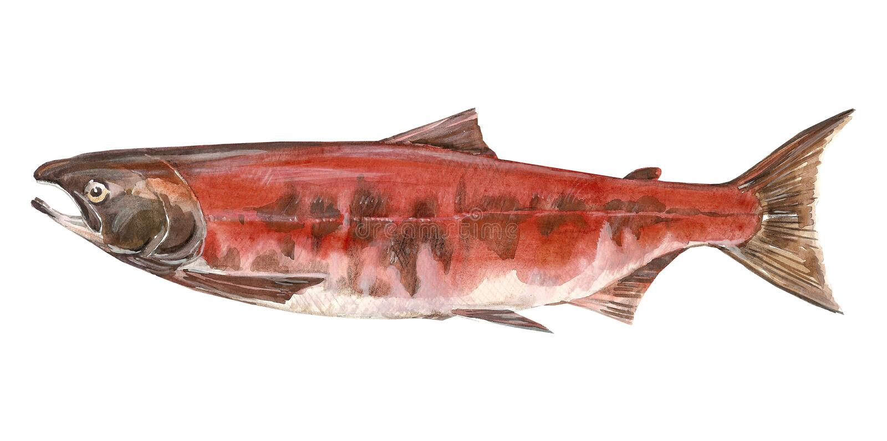 Salmoni dei pesci immagini stock