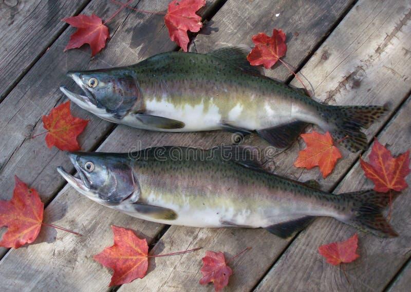 Salmoni dentellare fotografia stock libera da diritti