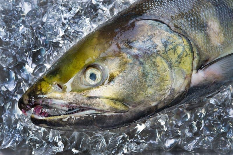 Salmoni di amico fotografia stock libera da diritti