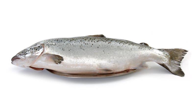 Salmoni grezzi freschi fotografia stock libera da diritti
