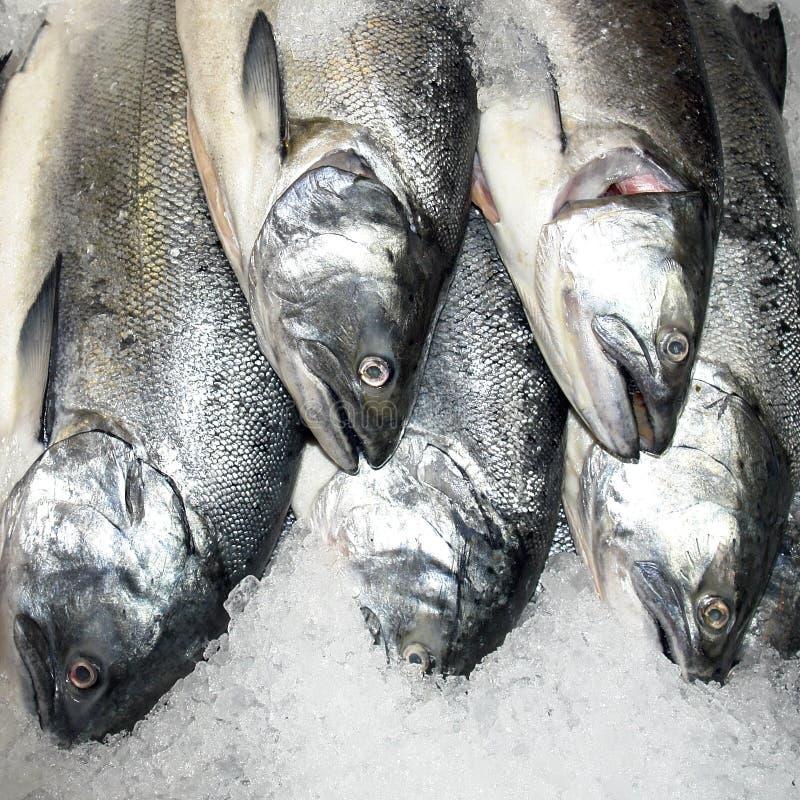 Salmoni pacifici fotografie stock libere da diritti