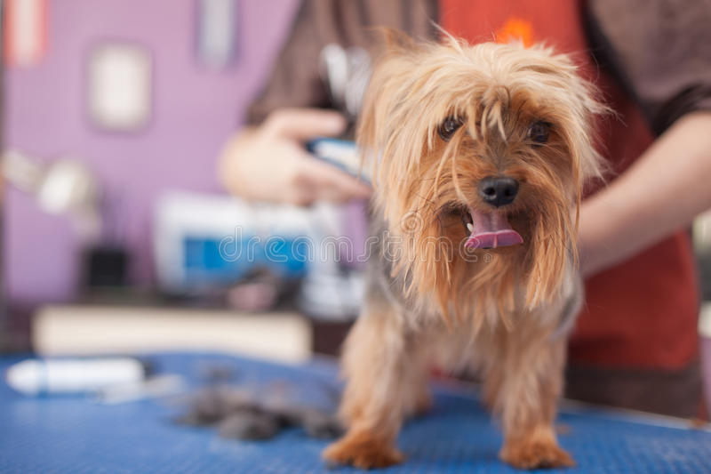 Salon se toilettant, coupe de cheveux Yorkshire Terrier photographie stock libre de droits