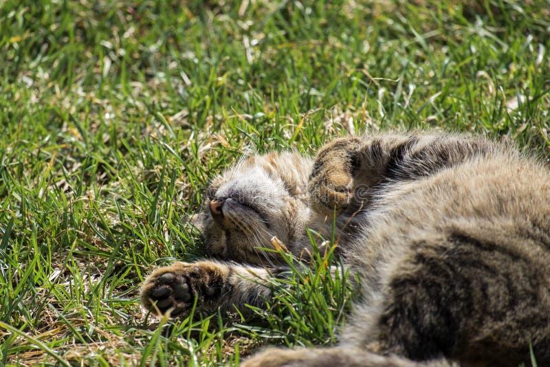 Salons rayés de chat sur la jeune herbe sous le soleil chaud de ressort image stock