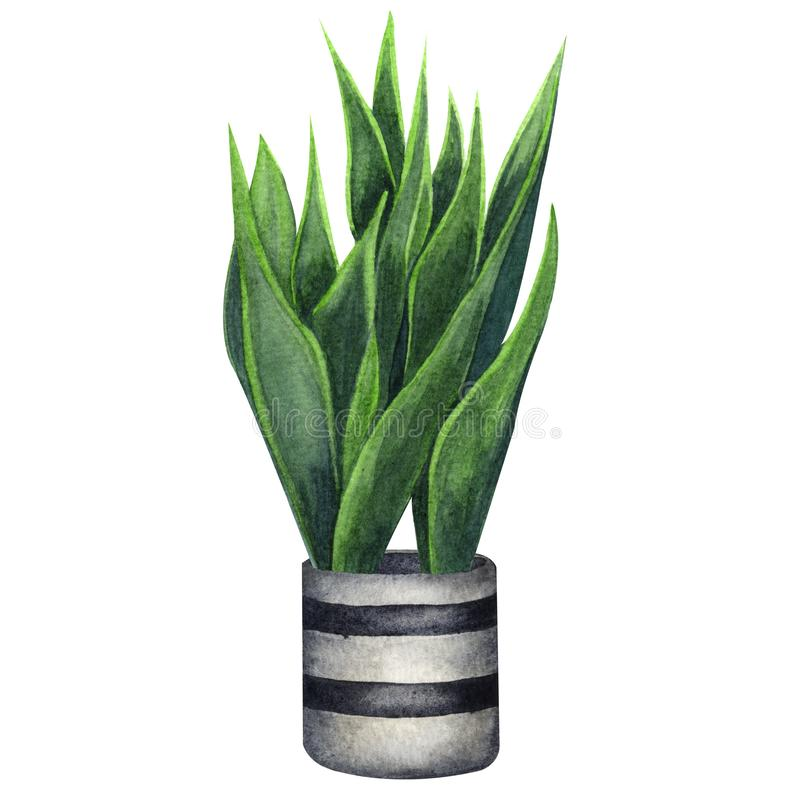 Salowej rośliny akwareli ilustracja Dom rośliny, Sansevieria lub wąż roślina w szarym garnku, ilustracja wektor