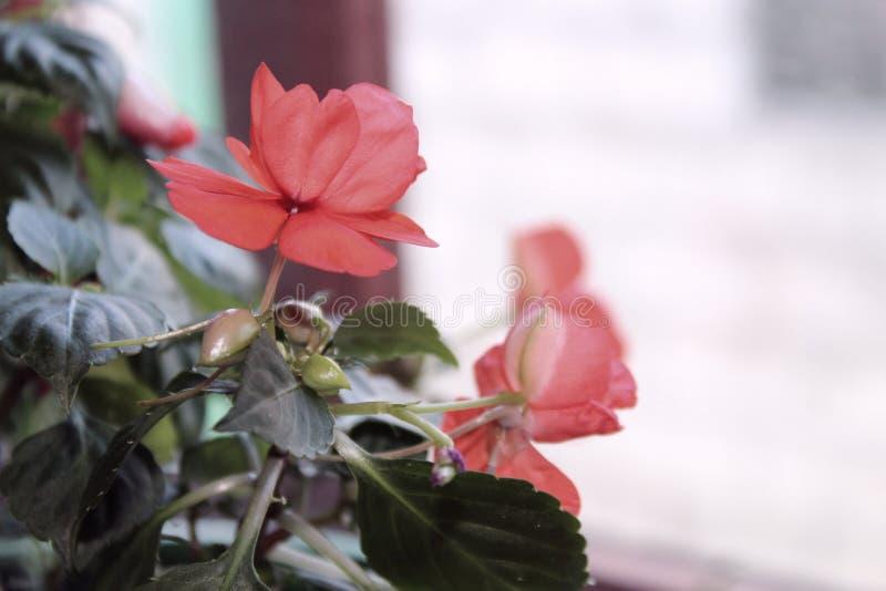 Salowy czerwony kwiat na windowsill zdjęcie royalty free