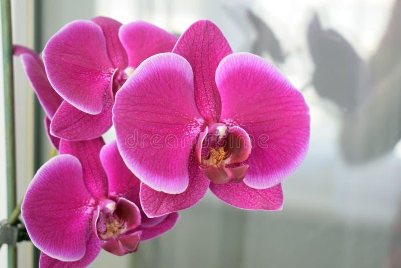 Salowy kwiat archdeia obraz royalty free