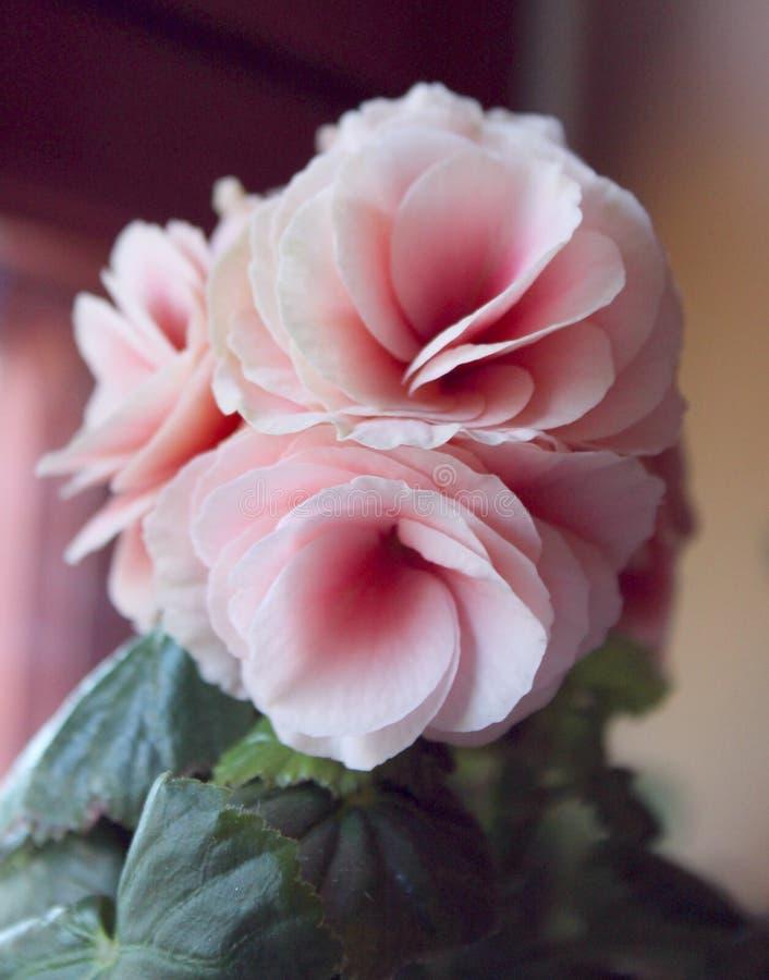 Salowy menchia kwiat na windowsill zdjęcie stock