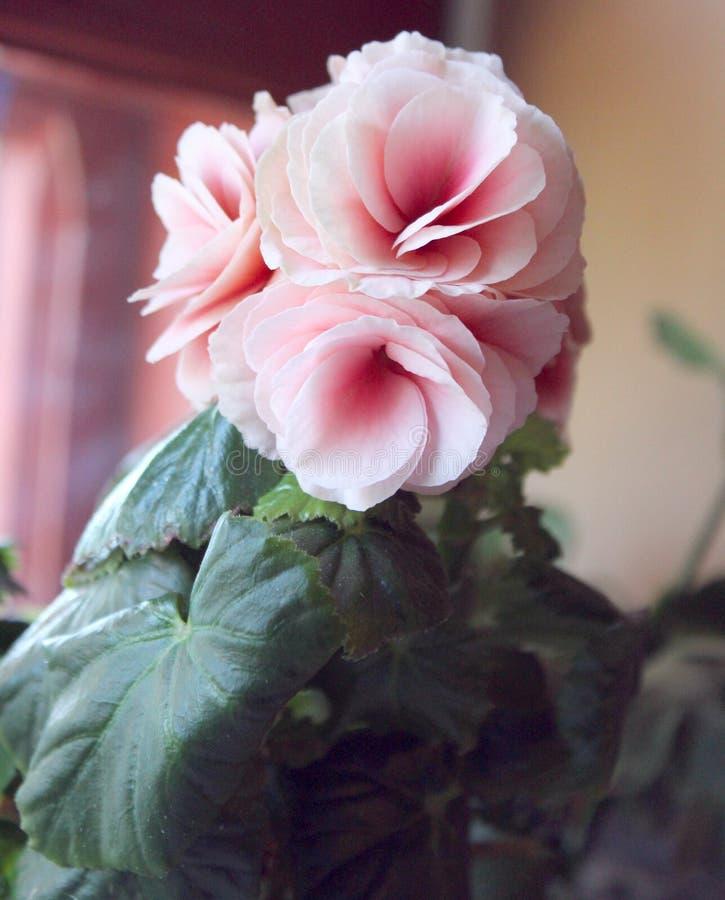 Salowy menchia kwiat na windowsill obrazy royalty free