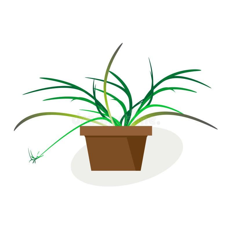 Salowy tropikalnej rośliny Chlorophytum kwitnienie w garnku Wektorowy rysunek na bia?ym tle royalty ilustracja