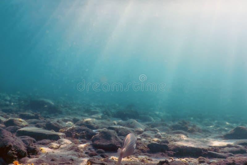 Salpa de Sarpa, nadando debaixo d'água com Sunburst foto de stock royalty free