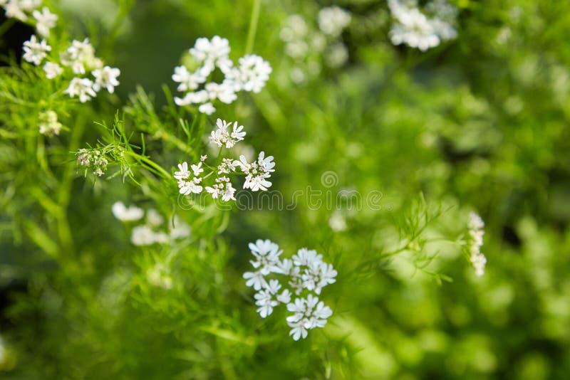 Salsa do coentro ou Coriandrum chinês de florescência sativum, coentro, coentro fotografia de stock royalty free