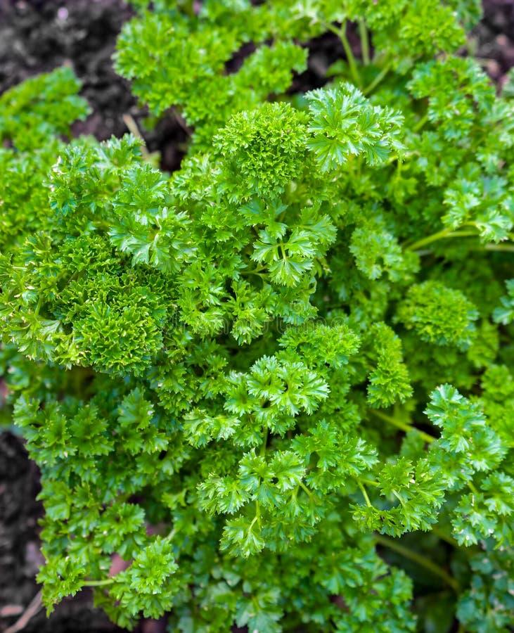 Salsa encaracolado que cresce no jardim da casa foto de stock royalty free